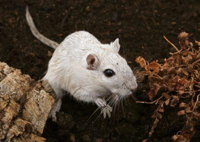 Rattengif en muizenklemmen